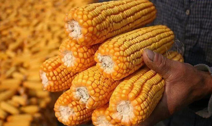"""新季玉米陆续上市,玉米跌破2600元/吨,今天最新价格""""震动""""市场"""