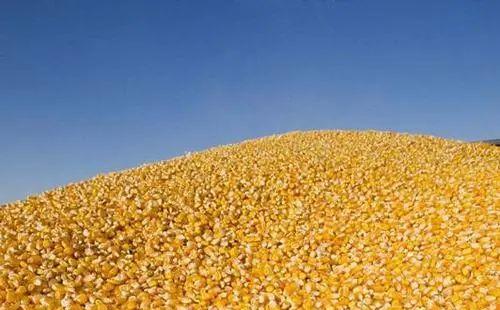 注意!今年秋粮收购形势复杂!