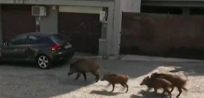 """市长选举在即,罗马却突遭野猪""""入侵"""""""