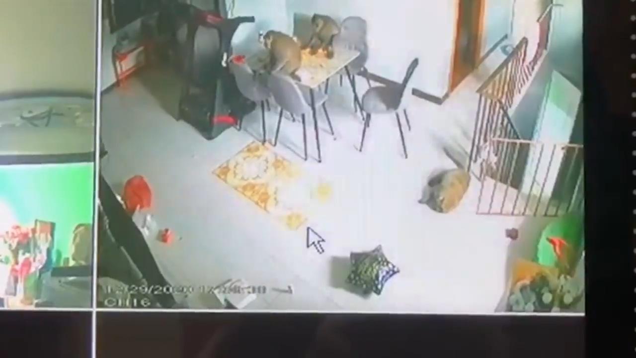 缺少游客喂食 泰国3只猴子进入居民家偷吃食物