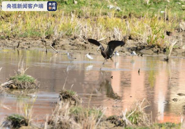 彩鹮再现云南大盈江畔 曾一度宣布在我国灭绝(图)图片