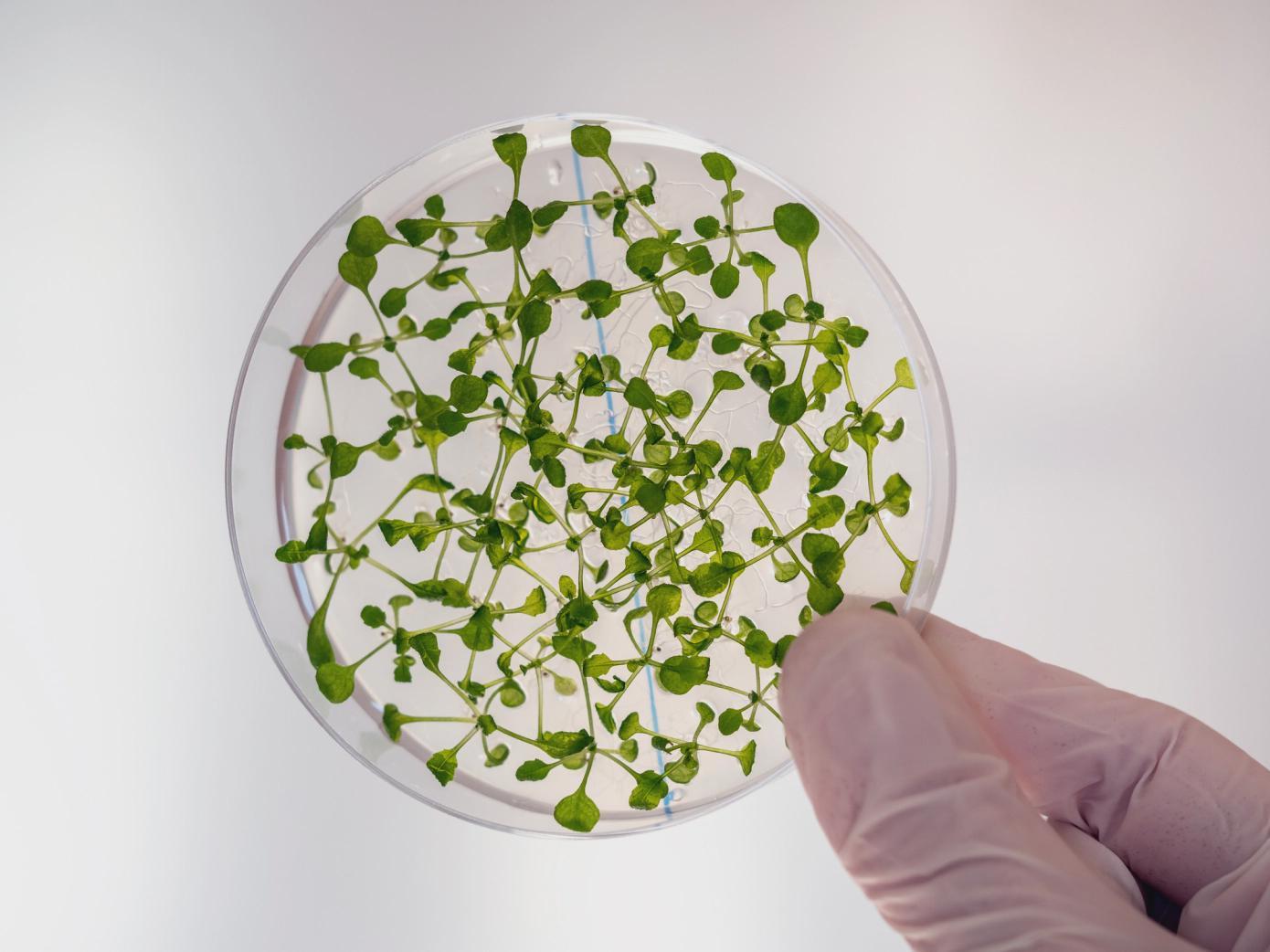 麻省理工学院开发出实验室生长植物组织的新方法