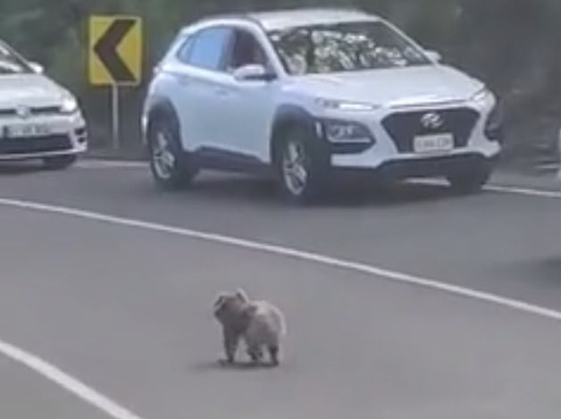 澳大利亚一只考拉街头散步 司机纷纷停车等待