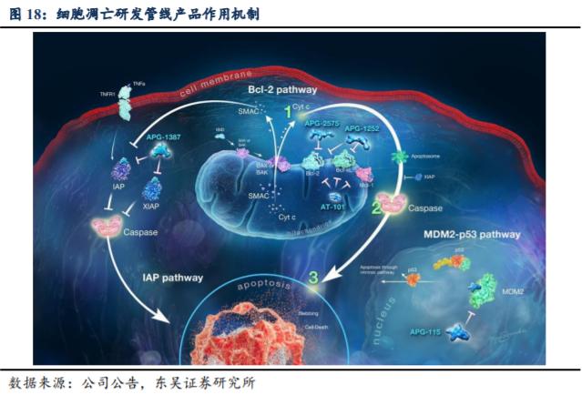 亚盛医药深度报告:精于蛋白-蛋白相互作用的小分子雕饰家!【东吴医药朱国广团队】