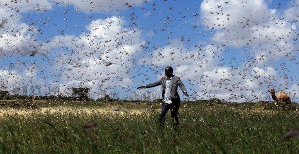 肯尼亚15个郡遭遇蝗灾入侵