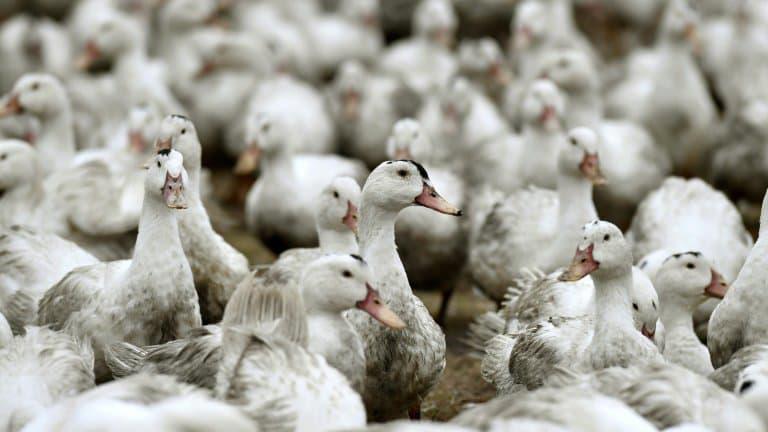 法国西南部地区禽流感疫情致20多万只鸭子被扑杀