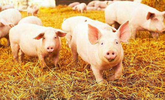 中金公司:预计2021年生猪均价同比下降30%至约25元/千克