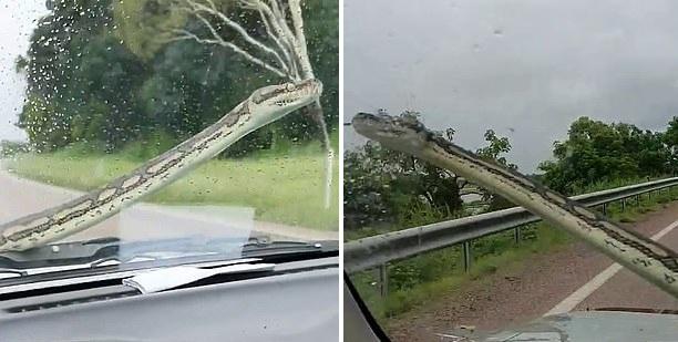 澳大利亚夫妇开车时遇3米长地毯蟒爬上挡风玻璃行驶50公里