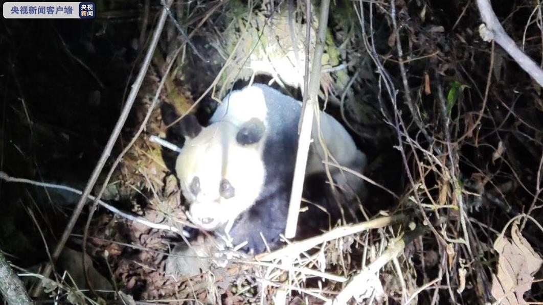 野生大熊猫现身工程区山林 四川公安快速救治图片