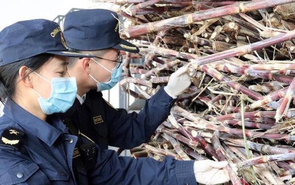 春节云南农产品进出口热 甘蔗入境通关便利