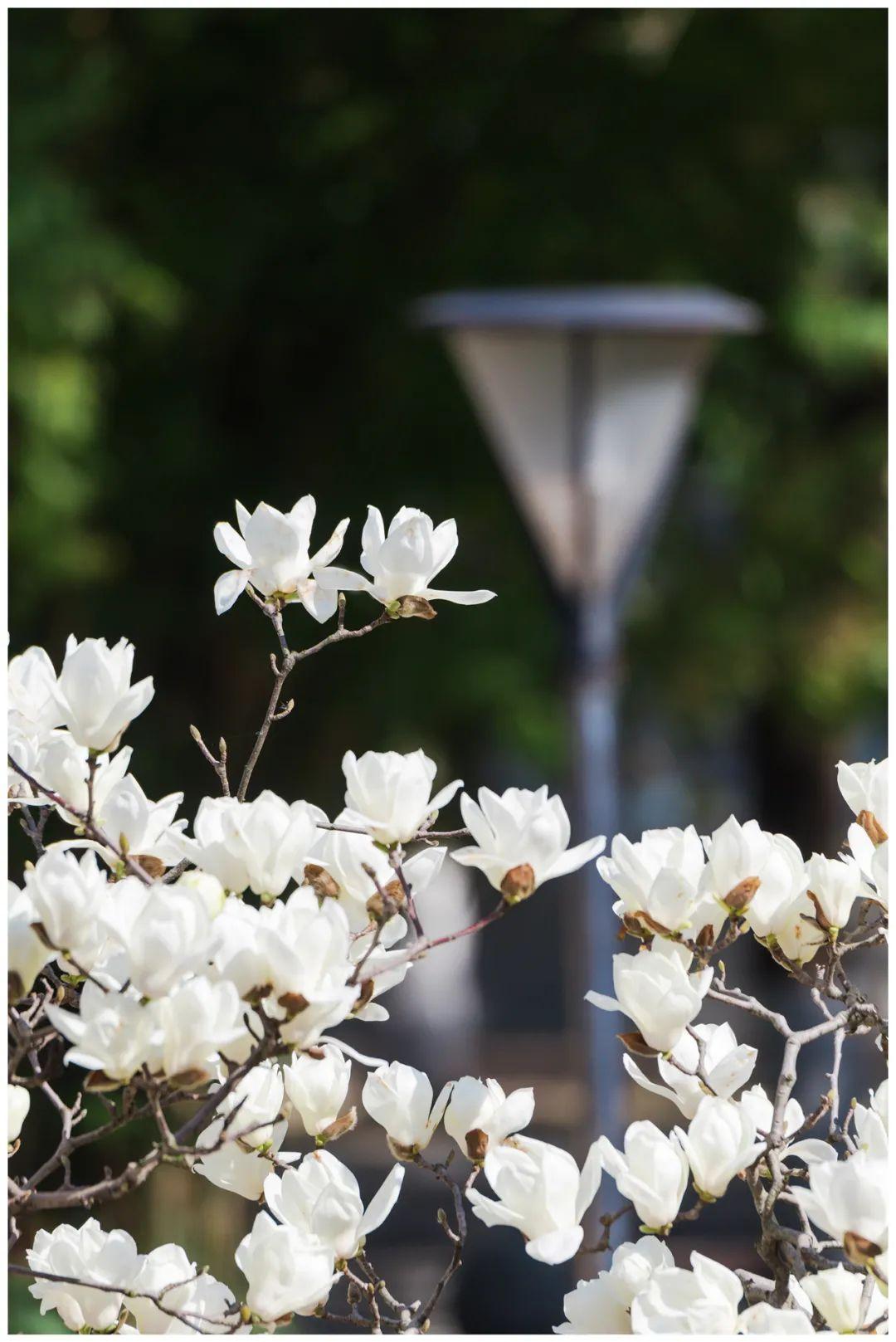 在华师,有一种春天叫玉兰花开!图片