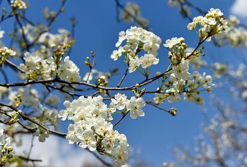 我的农产品:2021年春节回乡见闻——赣南小县又逢春 只见梨花不见人