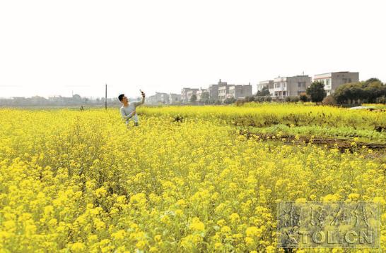 湘潭50万亩油菜花开等客来 本月底将进入盛花期