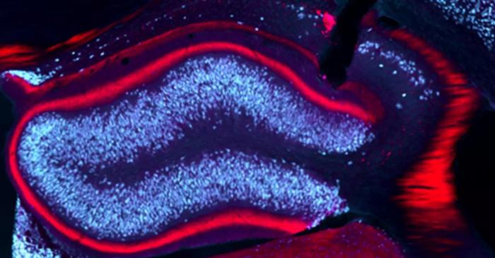 靶向光敏感蛋白质和分子的深度脑电刺激可预防小鼠模型中的癫痫发作