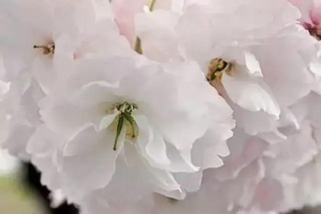 ▲普贤象樱(鉴赏点:百草园)