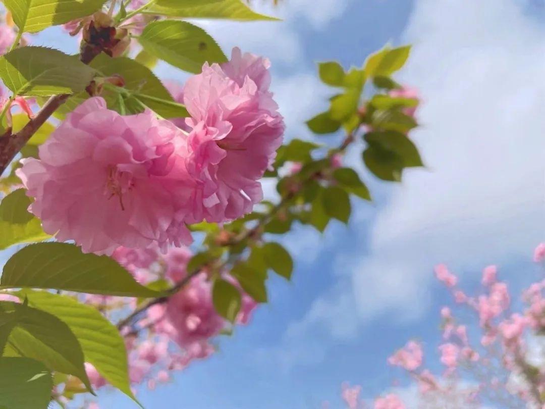 ▲松月樱(鉴赏点:牡丹园)