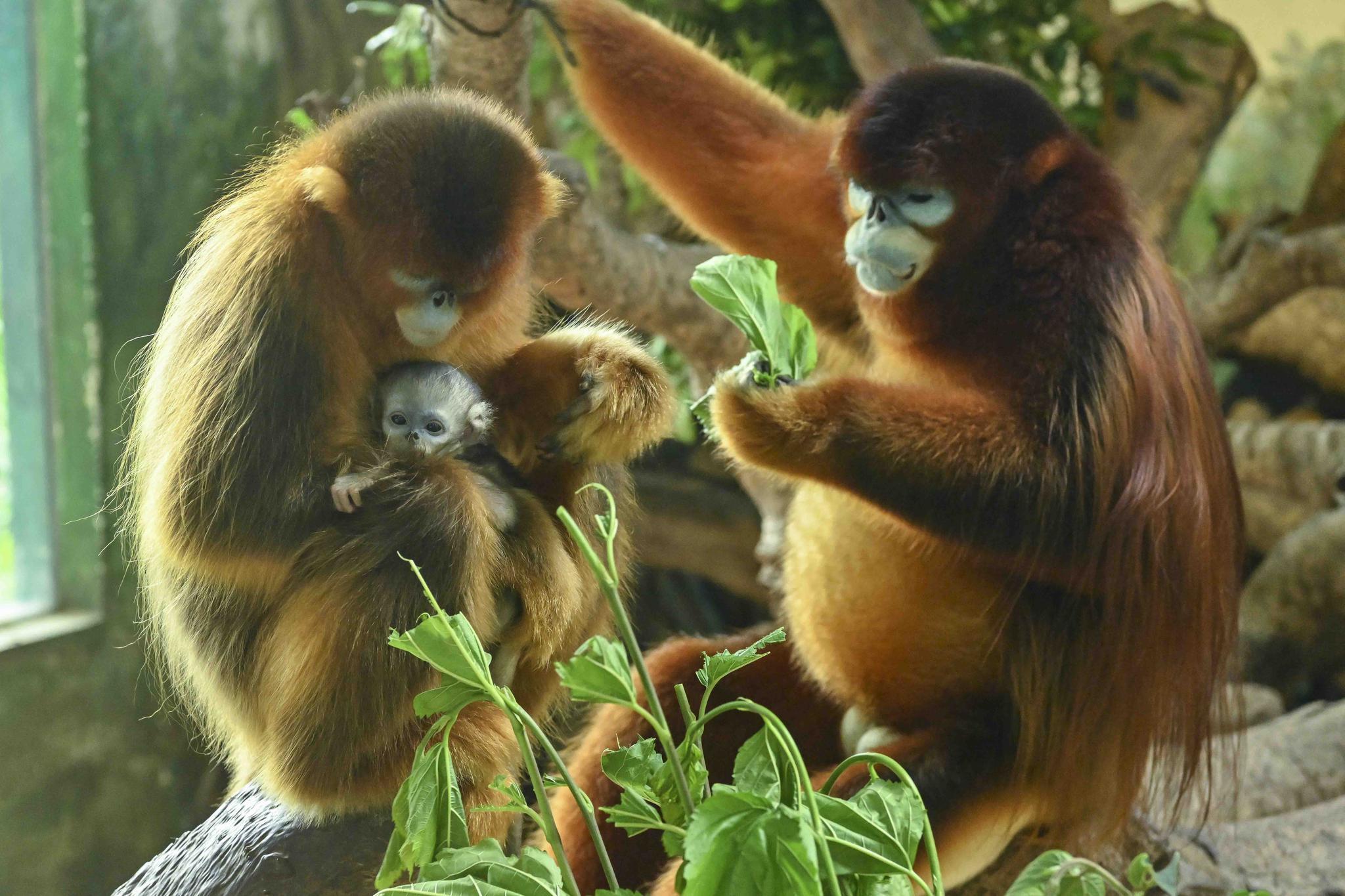 广州:金丝猴幼崽首次亮相 超萌!图片
