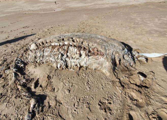 英国海滩现神秘海兽尸体:重4吨,无头无四肢(图)