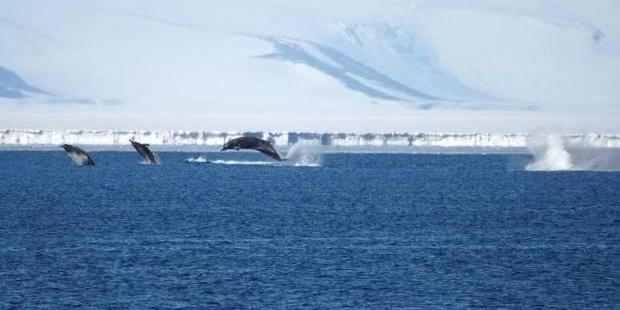 新西兰南极科考队拍摄到罕见鲸鱼画面