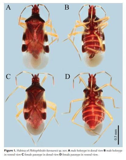 云南发现中国昆虫新记录科——丝蝽科