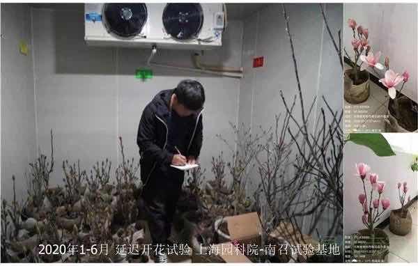 """冷藏+激素调控花期,一批上海市花白玉兰将为花博会""""迟开"""""""