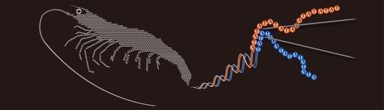 新发现!中科院海洋所揭秘对虾进化中的关键因素图片