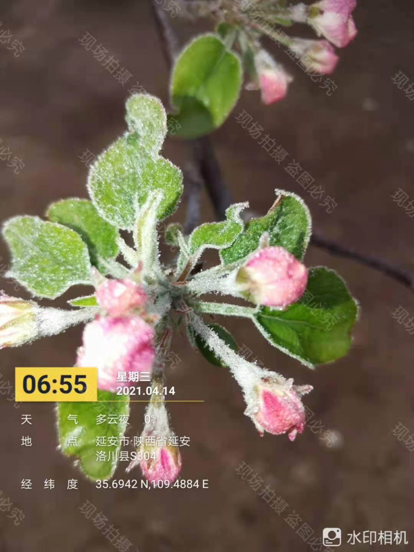 我的农产品:陕北地区苹果霜冻调研结果简析