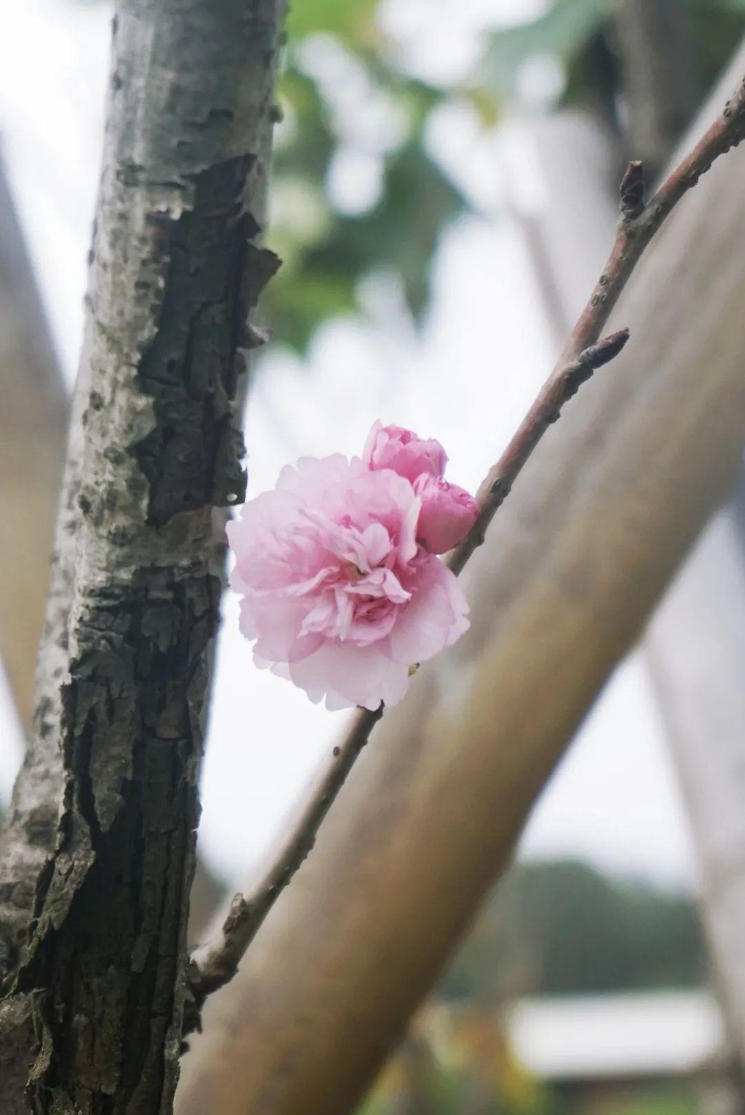 今年樱花最浪漫!花开,我们都在!