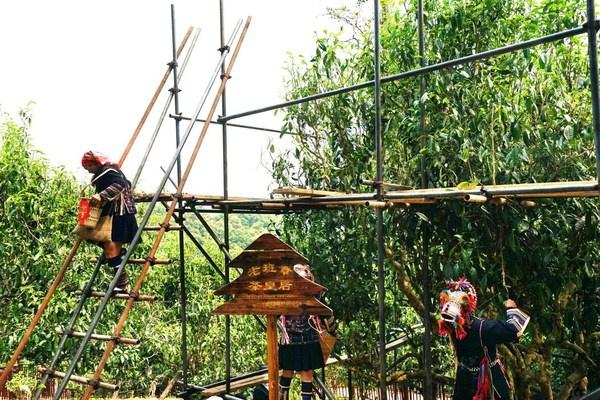 信记号年份普洱茶 四大产地茶王树保护及开采:老班