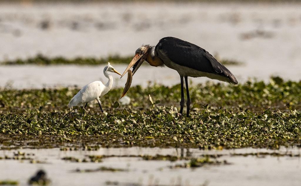 印度爆发第二波禽流感疫情 两周内近百只候鸟死亡