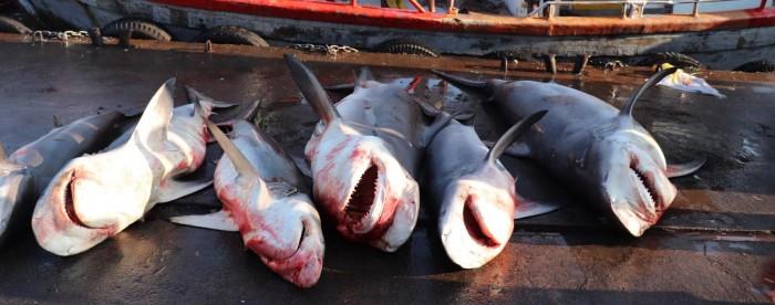 研究:印度洋海洋保护区有成千上万条鲨鱼遭非法捕捞