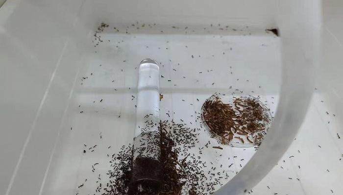 危险的红火蚁没有天敌图片