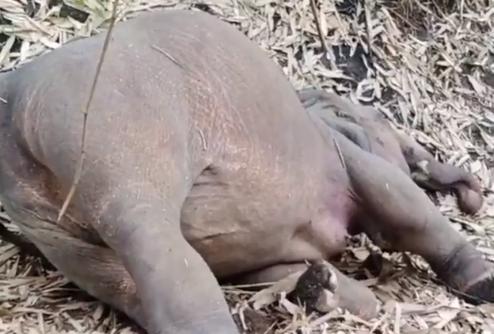 印度18头大象疑遭雷击致死 尸体在树林中被发现