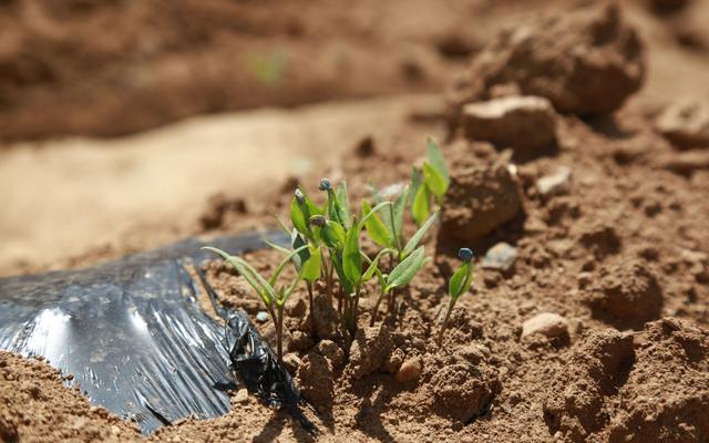 平谷北独乐河村300亩撂荒低效耕地变身朝天椒种植示范园