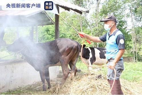 泰国暴发牛疫 数千头牛被感染