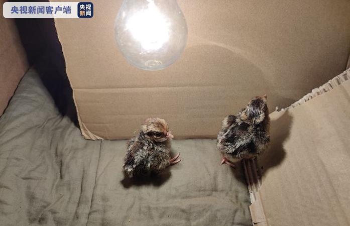 河北小五台山首次使用孵化箱成功繁育褐马鸡
