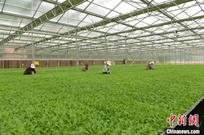丑耳种植:山西上党男子回乡带动近万亩白菜种植助30余村农民