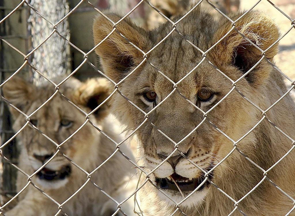 印度一只9岁母狮感染新冠后死亡 另有8只确诊