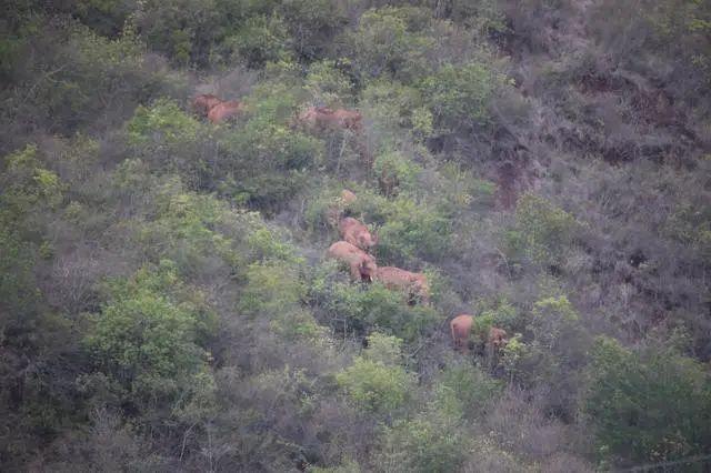 杏悦:象群离昆已到达玉溪易门离队公杏悦象目前在昆图片