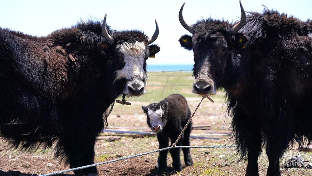△刚察县草场上的牦牛、山羊(总台国广记者李晋拍摄)