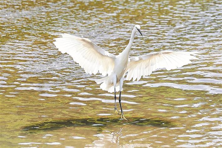 偶然能看见白鹭在水面上嬉戏、啄食。