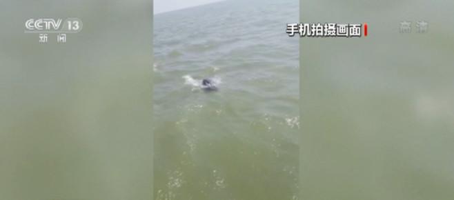 江西:巡逻执法队拍到江豚追逐巡护船画面
