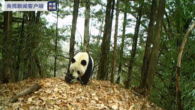 """频频""""偶遇""""!陕西大熊猫野外种群由109只增至345只"""