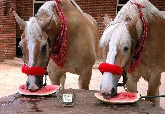马儿百科小课堂:夏天究竟能不能给马吃西瓜?