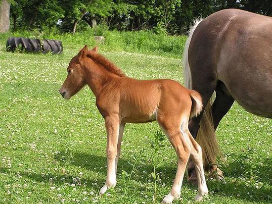 早期教育很重要!你知道小马驹多大就可以给它戴笼头吗?