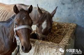 ▲马不用低头就能吃草