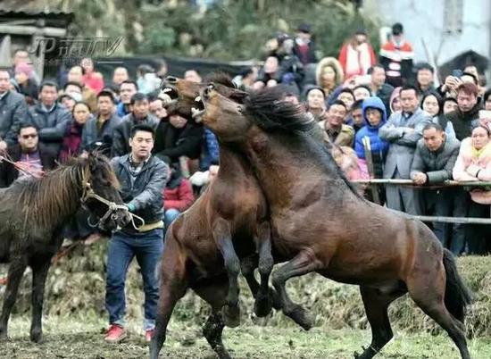 """惊险!黑马救人通灵性 骏马不是""""宠物""""是朋友"""