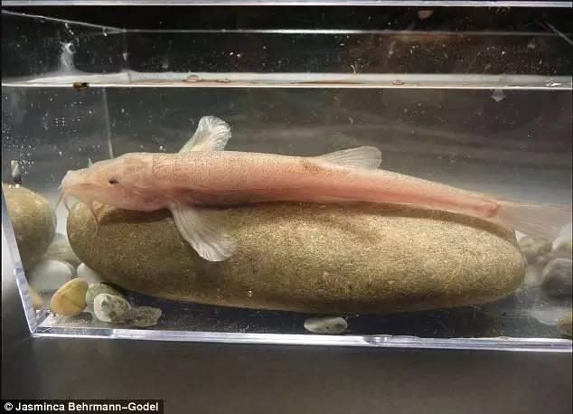 潜水者在德国南部发现洞穴鱼:系欧洲首次