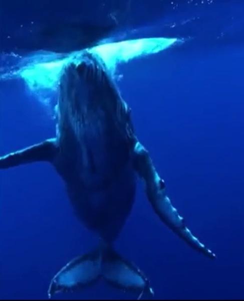 Tanakit称这头蓝鲸有30多米长