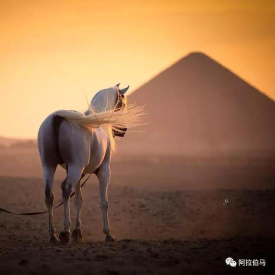 <b>阿拉伯马,一段关于美丽与高贵的历史</b>